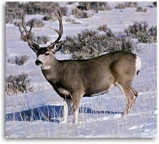 Colorado Mule Deer Hunting