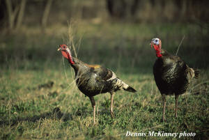Merriam Turkey