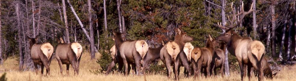 Teller County Bull Elk